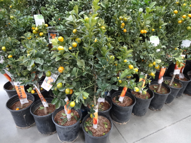 Kumquat trees at Costco