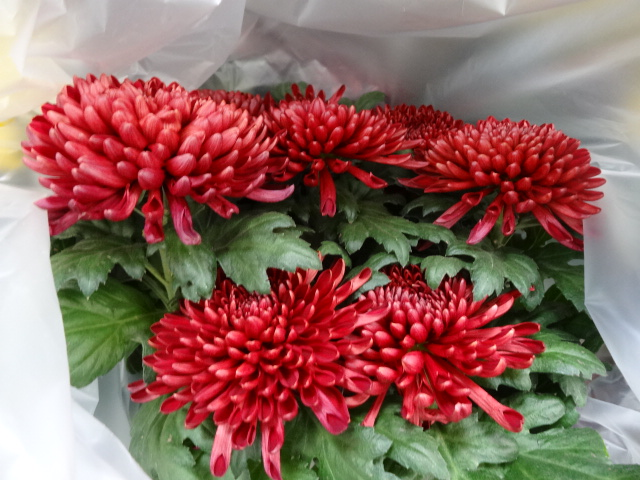 Red mums at Costco