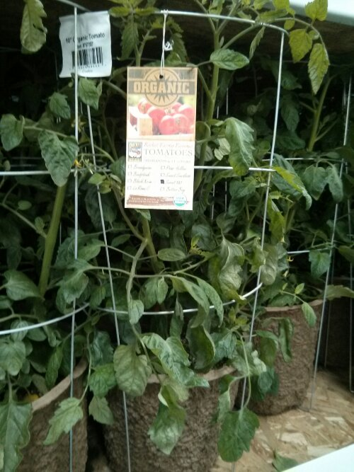 Organic Tomato Plant at Costco