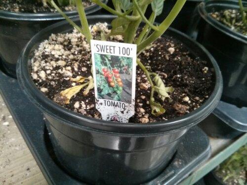 Sweet 100 Tomato plant at Costco