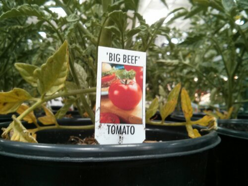 Big Beef Tomato Plant at Costco