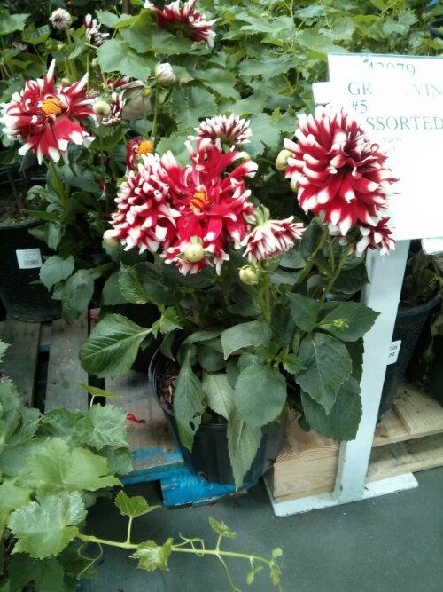 Dahlia plant at Costco