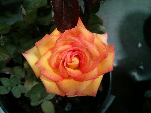 Rose bush Costco