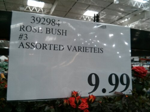 Rose bush Costco