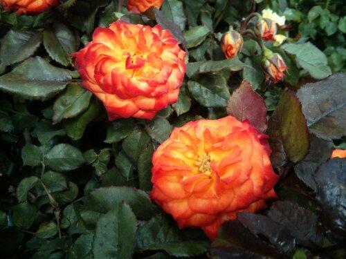 Patio rose tree Costco