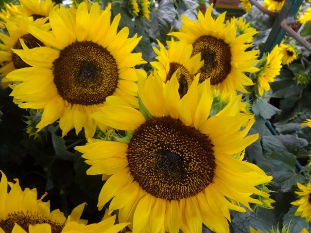 Sunflowers Costco