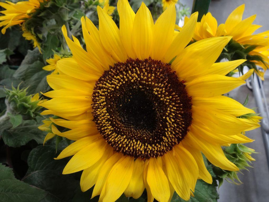 Beautiful Sunflowers And Stargazer Lilies