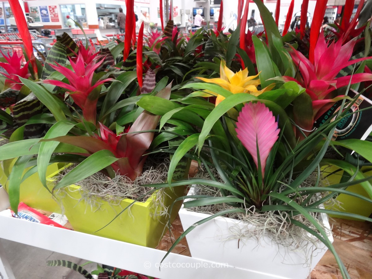 Bromeliad Costco