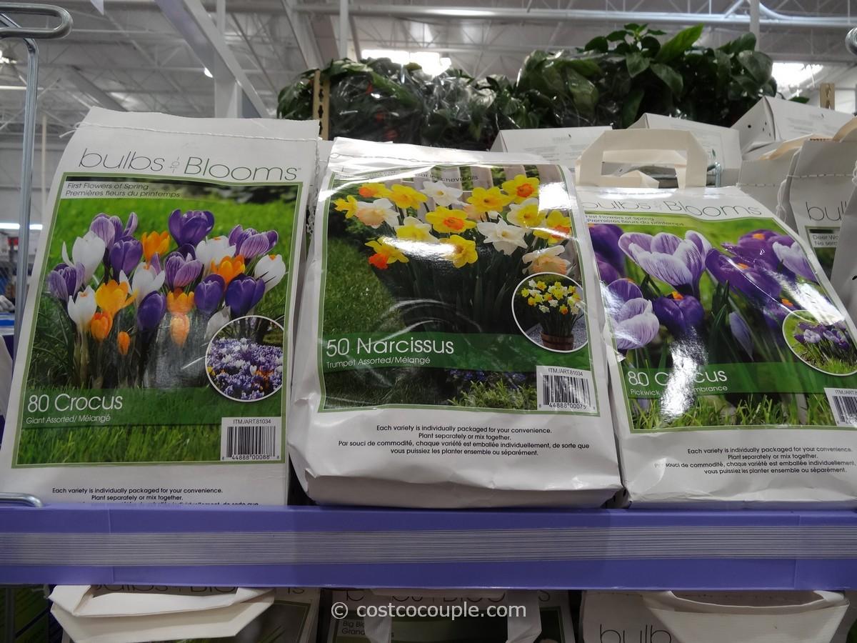 Bulbs to Blooms Fall Bulbs Costco 4