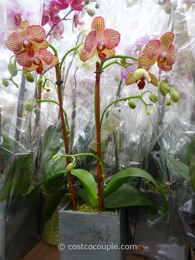 Phalaenopsis Double Spike Orchid Costco 2