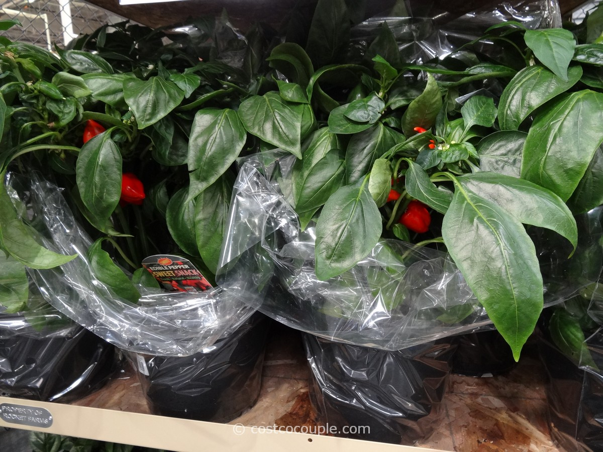 Edible Peppers Plant