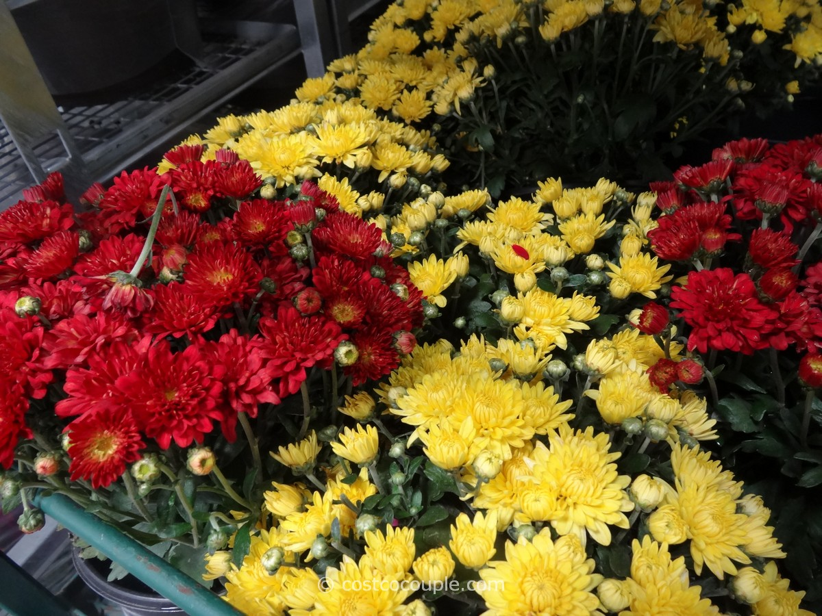 Garden Mums Assorted Pack Costco 3