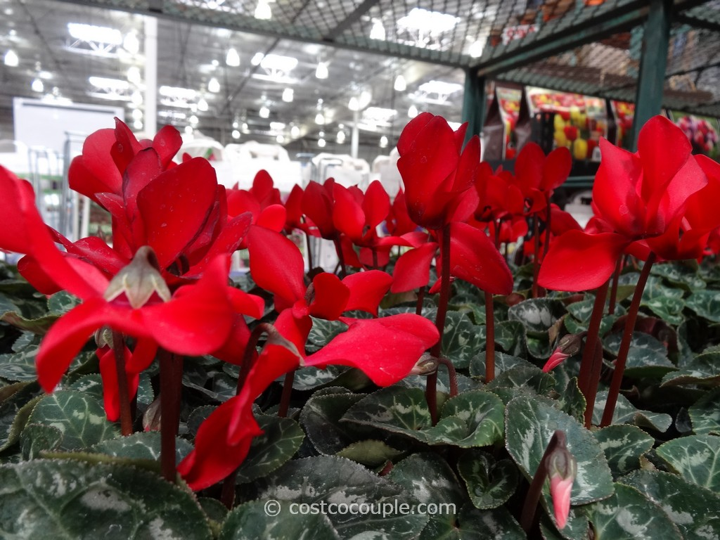 Cyclamen Costco 3