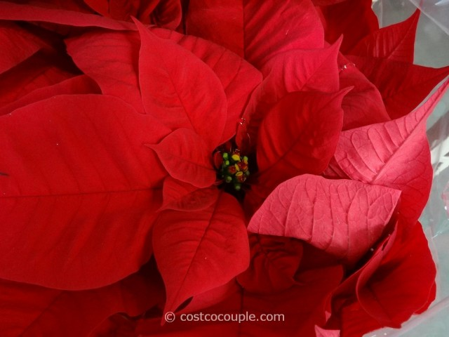 Poinsettia Costco 3