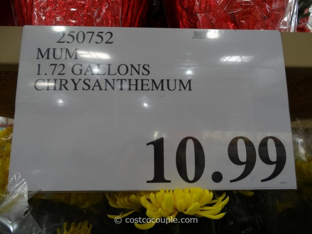 Chrysanthemum Costco 1