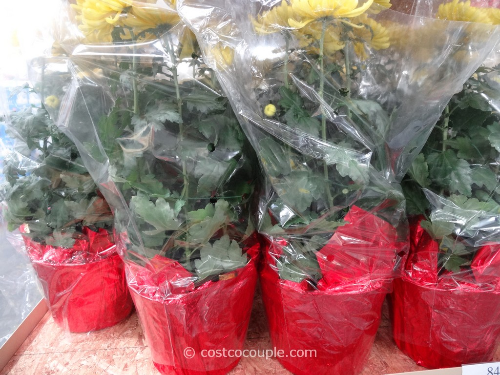 Chrysanthemum Costco 3