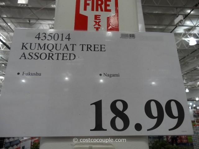 Kumquat Tree Costco 1