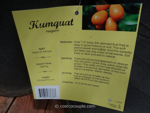 Kumquat Tree Costco 4