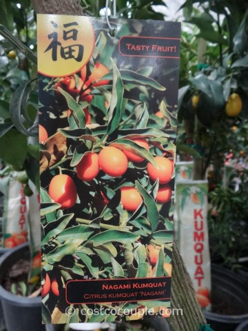 Kumquat Tree Costco 5
