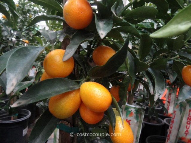 Kumquat Tree Costco 6