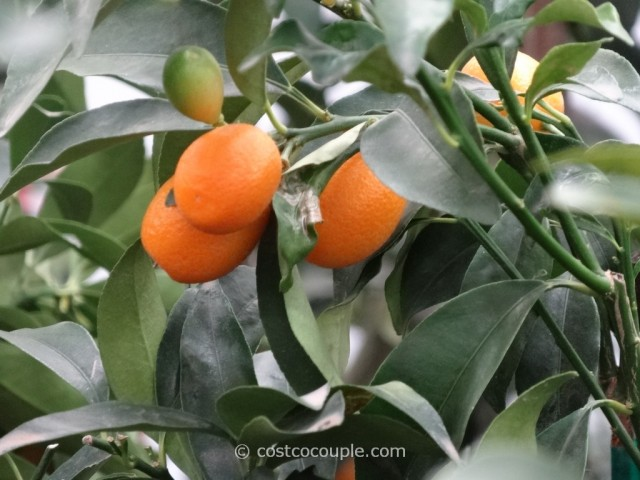 Kumquat Tree Costco 8