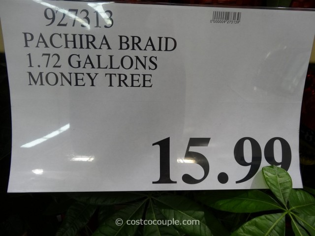 Pachira Braid Money Tree Costco 1