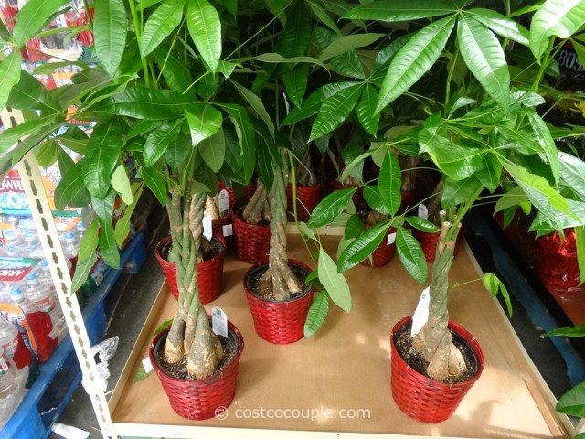 Pachira Braid Money Tree Costco 2