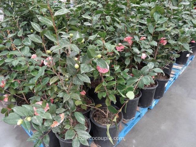 Camellia Debutante Costco 1