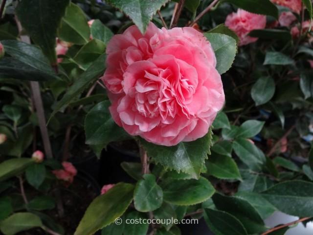 Camellia Debutante Costco 2