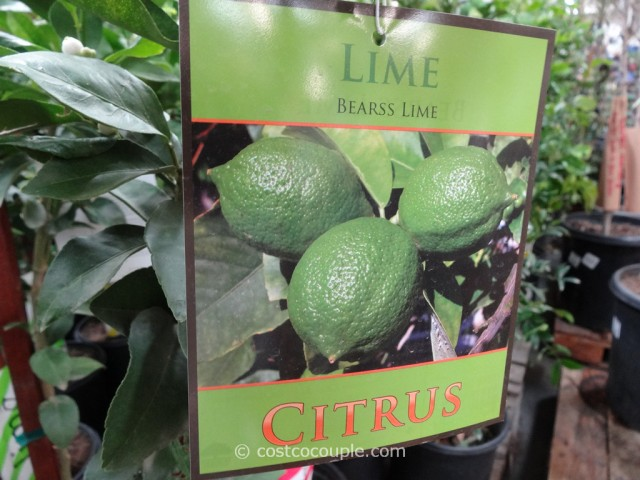 Citrus Trees Assorted Varieties Costco 9