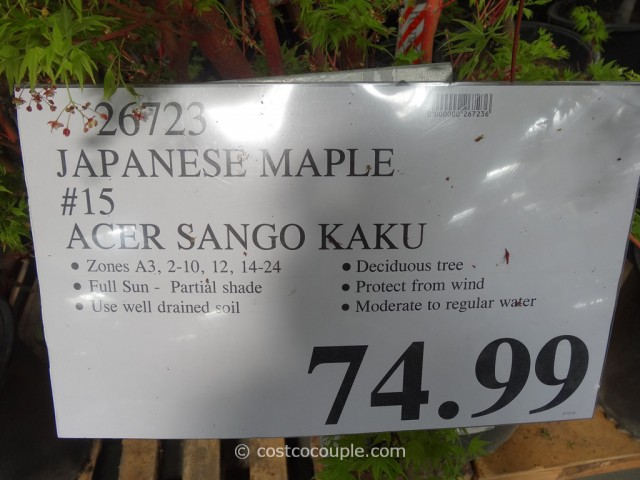 Sango Kaku Japanese Maple Costco 1
