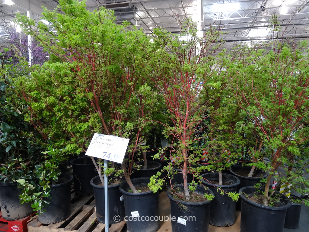 Sango Kaku Japanese Maple Costco 2