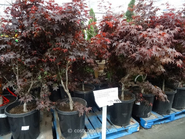 Japanese Maple Bloodgood Costco 2