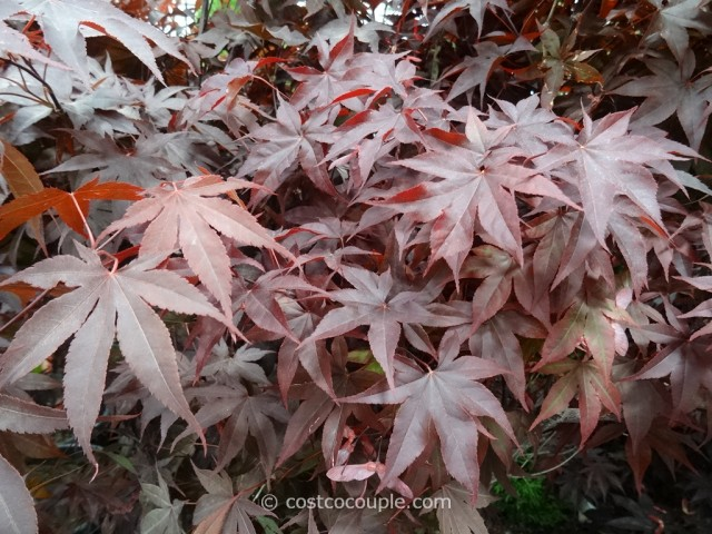 Japanese Maple Bloodgood Costco 3
