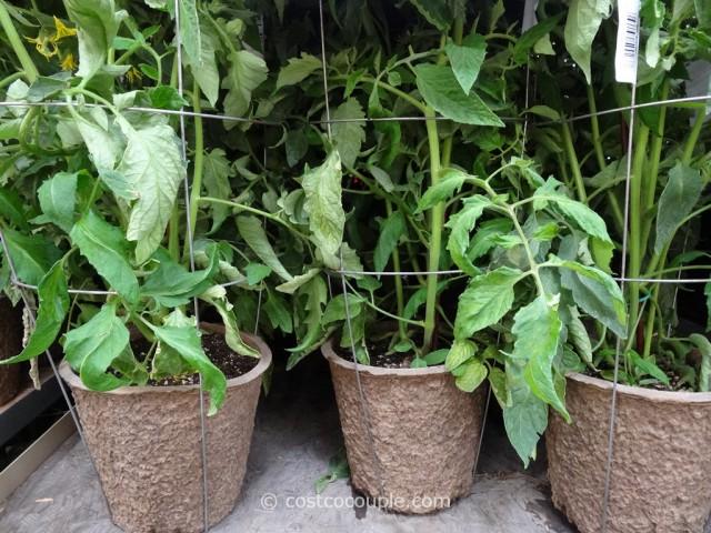 Rocket Farms Organic Heirloom Tomatoes Costco 1