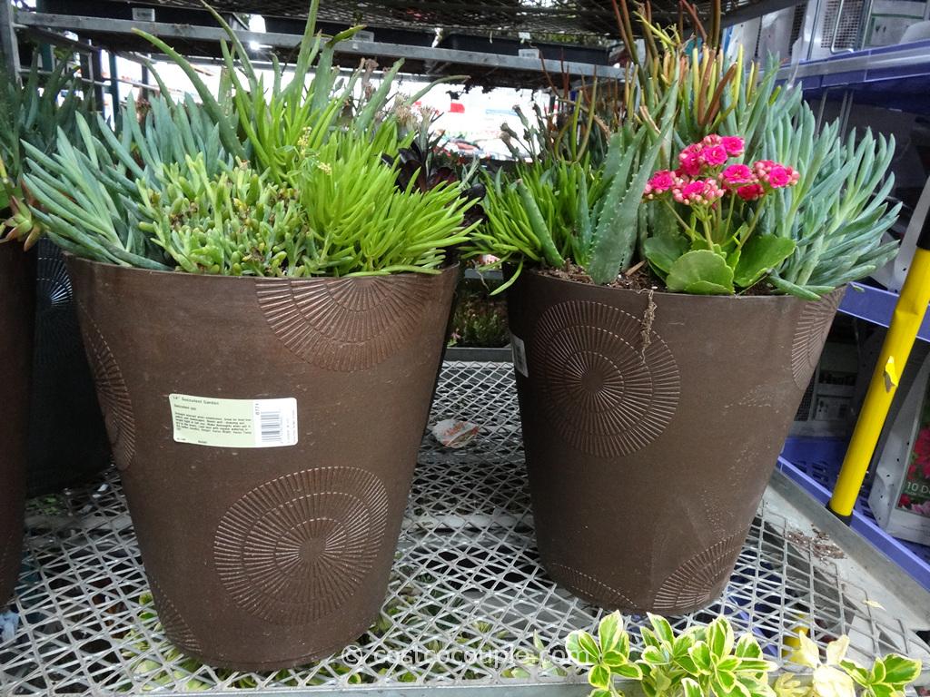Succulent Garden 14-Inch Costco 1