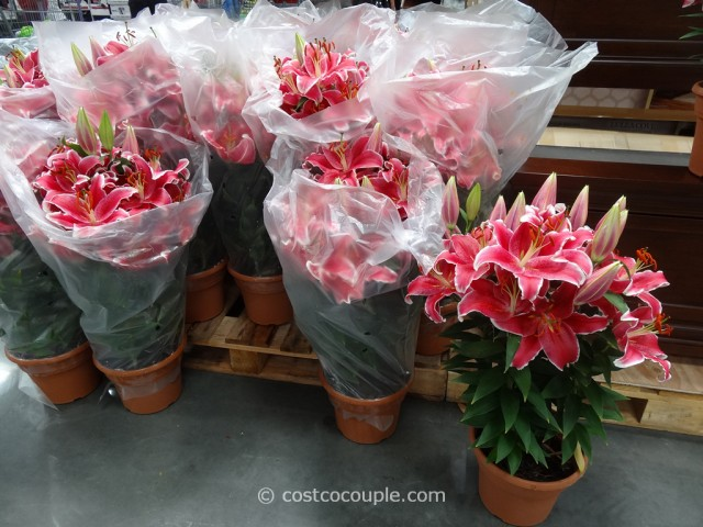 Stargazer Lilies 10-Inch Pot Costco 2