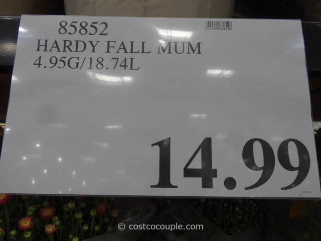 Hardy Fall Mums Costco 5