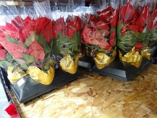 Poinsettia 4-pack Costco 3