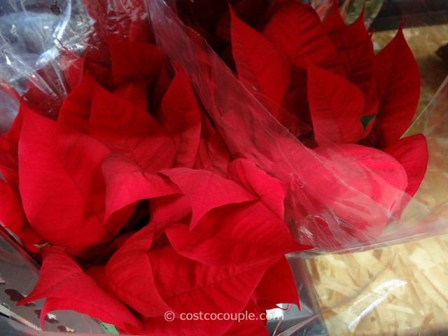 Poinsettia 4 Pack