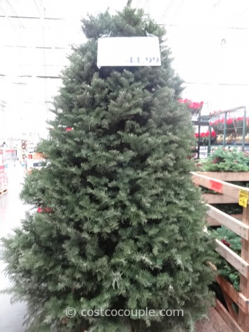 Noble Fir Fresh Cut 2014 Christmas Tree Costco 3