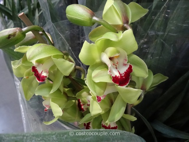 Cymbidium Orchid Costco 2