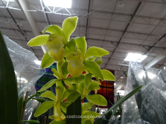 Cymbidium Orchid Costco 3