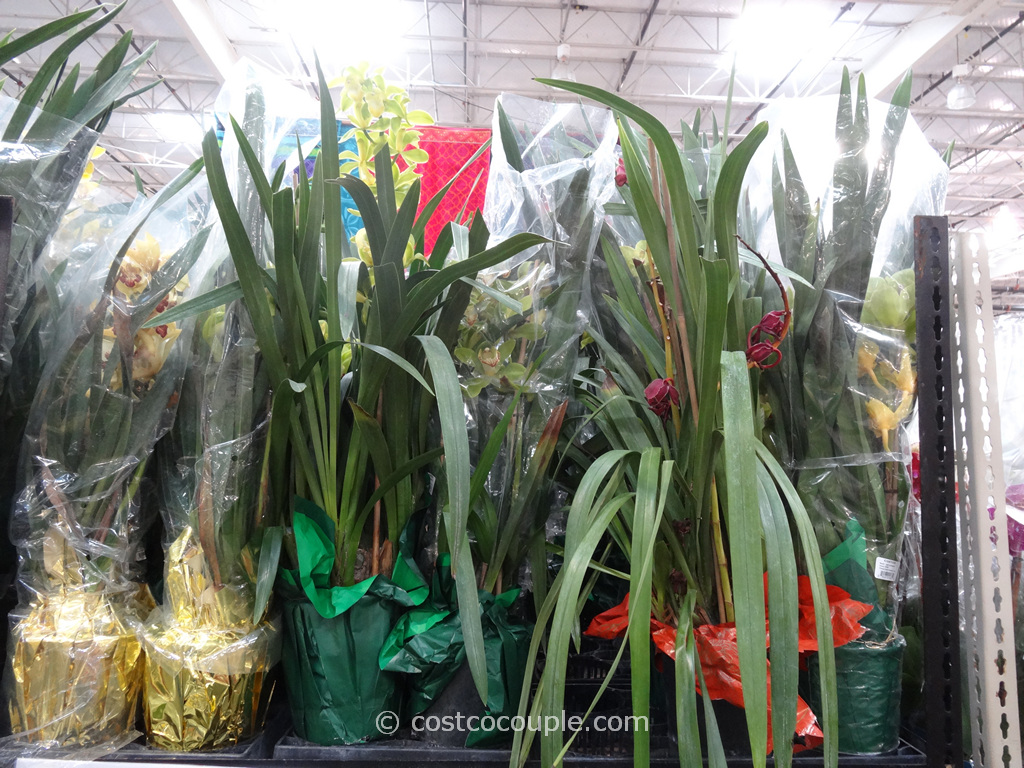 Cymbidium Orchid Costco 4