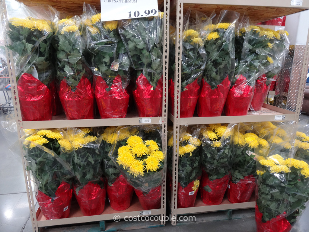 Yellow Chrysanthemum Costco 2