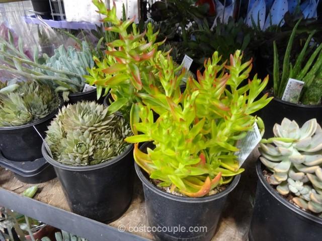 Succulents 3-pack Costco 3