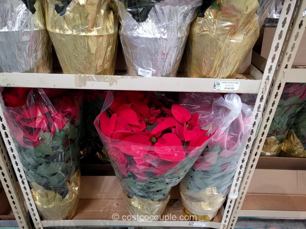 Premium Poinsettia Costco 2