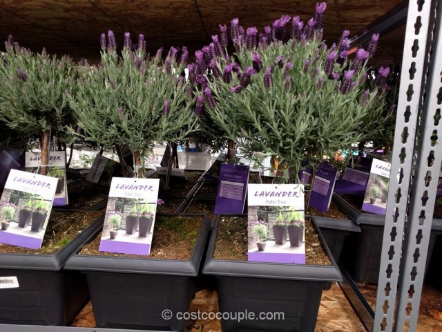 Lavender Patio Tree Costco 5