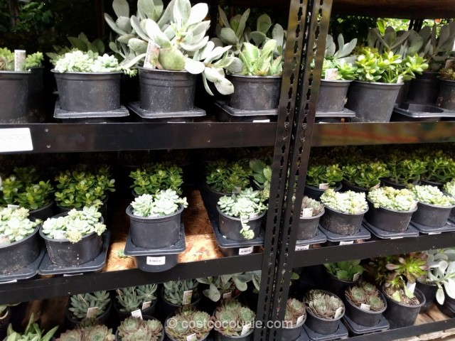 Succulents 3-pack Costco 2