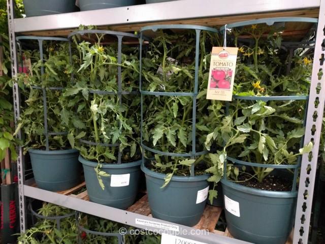 Tomato Plant With Cage Costco 2